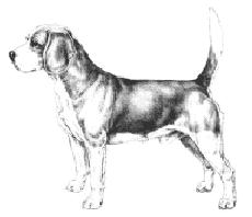 beagle_standard
